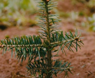 Christbaum Klug - from seedling to christmas tree
