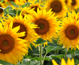 Sunflowers always face the sun. As a result, they are often associated with summer and happiness.