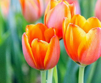 Tulips are a more subtle sign of love or affection than roses. Darker colors represent stronger emotions.