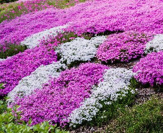 Beautiful Ground Cover Plants for Your Garden